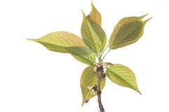 Flower bud and leaves of sakura Stock Photography