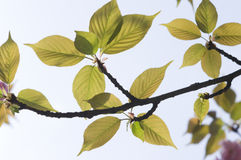 Flower bud and leaves of sakura Royalty Free Stock Photo