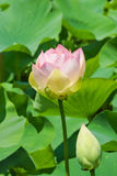 Flower and Bud of the Lotus orehonosny lat. Nelumbo nucifera is a perennial herbaceous species of amphibians plants of the genus Royalty Free Stock Images