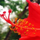 Flower bud. Bud macro photography red flower Royalty Free Stock Images