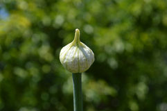 Flower bud of onion. Close-up front view Stock Photos