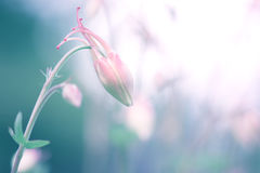 Flower bud of pink aquilegia. A beautiful bud on a gentle background. Stock Photo