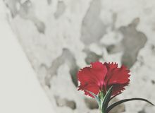 Flower bud in ruins. A red flower in its natural beauty inside a room with its leaves and tranquility giving a sense of peace and prosperity stock image