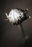 Flower bud in sepia Stock Image