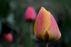 Tulip. Flower bud tulips and raindrops Stock Images