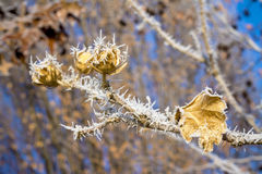 Flower bud in winter with frost on it Royalty Free Stock Photos