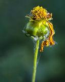 Flower Bud with Withered Petals Royalty Free Stock Images