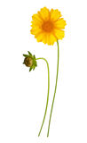 Flower and bud of yellow daisy-gerbera. Isolated on white Royalty Free Stock Photos