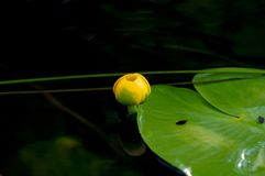 Flower bud of Yellow Water-lily. Least Water-lily grows naturally.  Stock Photos