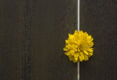 Flower bud. Yellow wet flower bud in gap between two wooden planks of fence Royalty Free Stock Photo