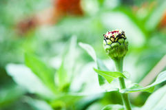 Flower bud Royalty Free Stock Images