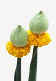 Flower  for buddhist religious. Flower  for buddhist religious ceremony Stock Image
