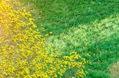 Flower budding maple on a background of green young grass meadow and flowering dandelions. Stock Photo