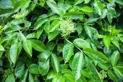 Flower buds of the black elder (Sambucus) Stock Photo