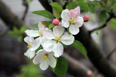 Flower buds and blooms on apple tree branch. They are white and bright pink Royalty Free Stock Image