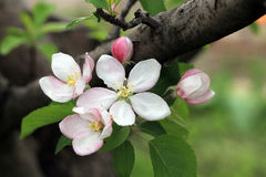 Flower buds and blooms on apple tree branch. Royalty Free Stock Images