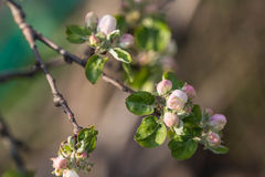 Flower buds on a branch of an apple tree Stock Images