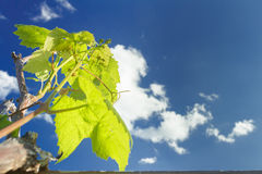 Flower buds breaking of cultivated grape vine Royalty Free Stock Photo