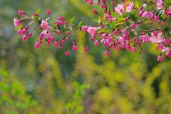 Flower buds. The close-up of flowers and buds of Malus micromalus Royalty Free Stock Photos