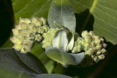 Flower buds of common milkweed in Vernon, Connecticut. Flower buds and downy hairs of common milkweed, Asclepias syriaca, in springtime at Belding Wildlife royalty free stock photos