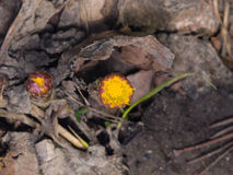 Flower buds in early spring, blooming coltsfoot, tussilago farfara, macro with bokeh background selective focus Royalty Free Stock Photography