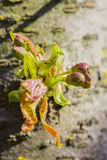 Flower buds and first leaves of sweet cherry Royalty Free Stock Image