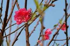 Peach blossom flowers against blue sky. Signs of spring Stock Photo