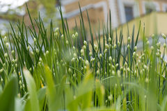 flower buds, grass, lawn, flowerbed Royalty Free Stock Image