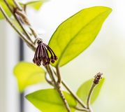 Flower buds Hoya. Wax ivy, among green leaves stock photo