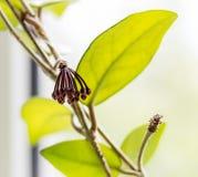 Flower buds Hoya Stock Photo