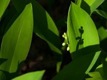 Flower buds and leaves of Lily-of-the-valley or Convallaria majalis close-up, selective focus, shallow DOF Stock Image