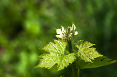 Flower buds and leaves of shoots grapevine spring Royalty Free Stock Photos