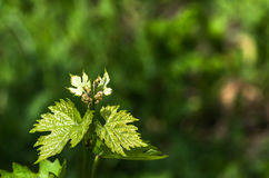 Flower buds and leaves of shoots grapevine spring Stock Photography