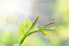 Flower buds and leaves of shoots grapevine spring Stock Photo
