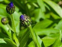 Flower buds of Mountain cornflower or Centaurea montana macro, selective focus, shallow DOF.  Royalty Free Stock Photography