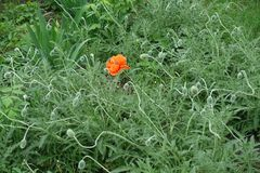 Flower and buds of oriental poppy. Olympia cultivar stock photos