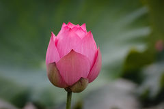 Flower buds of The Pink Lotus Stock Images