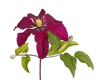Flower and buds of a purple clematis isolated on white stock images
