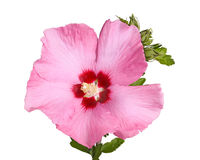 Flower and buds of Rose of Sharon on white Royalty Free Stock Photography