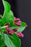 The Flower Buds of a weigela Stock Photo