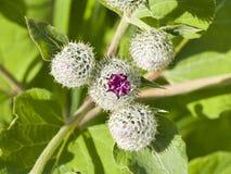Flower buds on Wooly or Downy Burdock, Arctium tomentosum, macro, selective focus, shallow DOF.  Stock Image