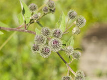 Flower buds on Wooly or Downy Burdock, Arctium tomentosum, macro, selective focus, shallow DOF Stock Image