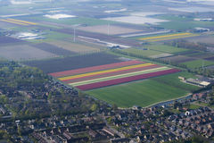 Flower bulb cultivation. Is an economic activity in the provinces of North Holland, South Holland and Flevoland. The colourful flower fields that have come to Royalty Free Stock Images