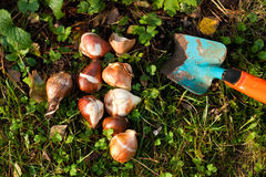 Flower bulbs Stock Images