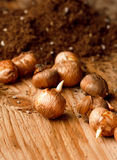 Flower bulbs Royalty Free Stock Images