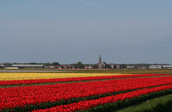 Flower bulbs field as far as the eye can see, attracts many tourists. Stock Images