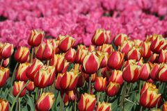 Flower bulbs field as far as the eye can see, attracts many tourists. Royalty Free Stock Photo