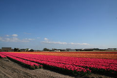 Flower bulbs field as far as the eye can see, attracts many tourists. Stock Photos
