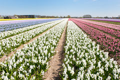 Flower bulbs in Holland Stock Image