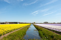 Flower bulbs in Holland Royalty Free Stock Photography